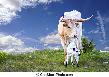 Longhorn Cow and Calf - Female Longhorn cow grazing in a...