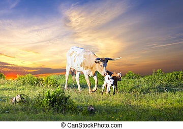 Longhorn Cow and Calves Grazing at Sunrise - Female Longhorn...
