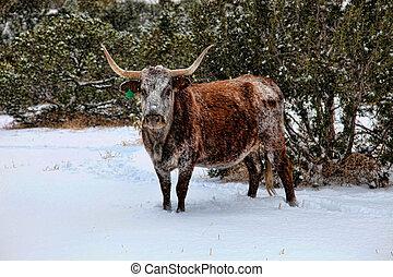 Longhorn Cow in Snow