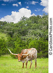 Longhorn Cow - Female Longhorn cow grazing in a Texas...