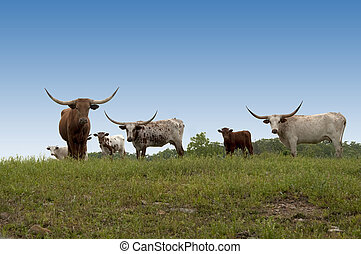 Longhorn Cows on the Hill