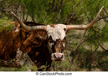 Longhorn in mesquite shrub thicket