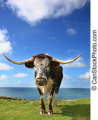 Hardy Longhorn cattle graze the tough grasses on the Cornish cliffs.