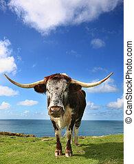 Longhorn in Summer. - Hardy Longhorn cattle graze the tough...