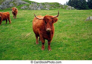 longhorn, kuh, auf, a, weide, in, norwegen