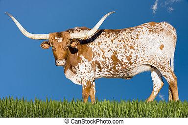 longhorn, kuh