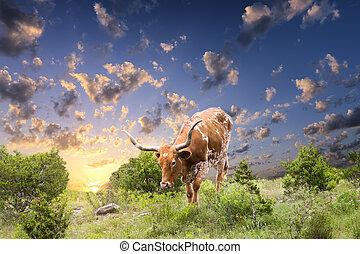 longhorn, kuh, weiden, an, sonnenaufgang