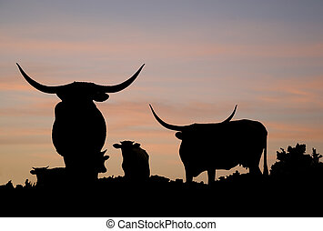 Longhorn cattle on the range of the Star Creek Ranch.
