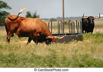 Longhorn Steer  - Texas Longhorn steer grazing in field