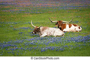 longhorn, tejas, bluebonnets, ganado