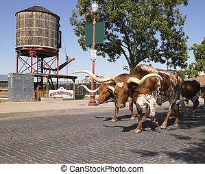 longhorns, gyalogló, lefelé, utca