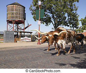 Longhorns Walking Down Street - Longhorn cattle walking down...