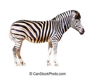 longitud completa, de, zebra