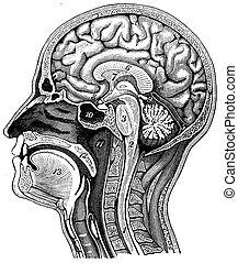 Longitudinal section of the human head, vintage engraving. -...