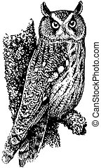 longo-eared coruja, pássaro