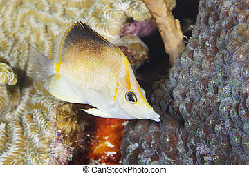 Longsnout Butterflyfish swimming over a coral reef