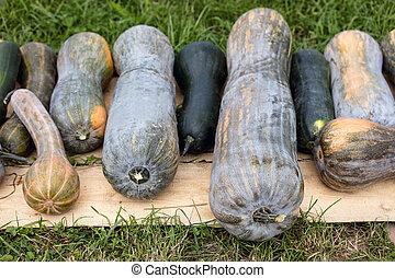 Longue de Nice, big cucurbita moschata pumpkins on the ground