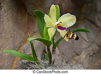 longwing butterfly on yellow orchid