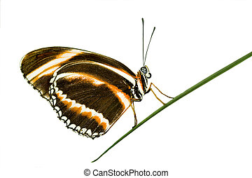 Longwing butterfly - Banded longwing butterfly (dryadula...