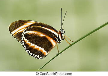 Longwing butterfly - Dryadula phaetusa (Banded Longwing)...