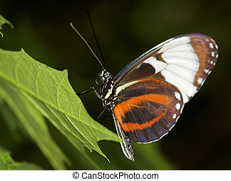 Longwing butterfly - Cydno Longwing Butterfly - Heliconius...