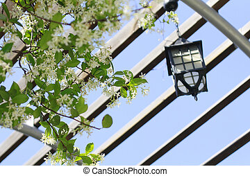 lonicera caprifolium - lamp and flower on the arbor