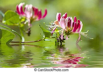 Lonicera caprifolium with water reflection