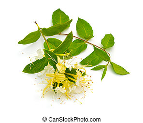 Lonicera japonica, known as Japanese honeysuckle and golden-...