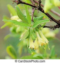 Lonicera kamtschatica blossom