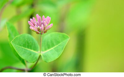 Lonicera periclymenum (Honeysuckle) plant closeup. - Closeup...