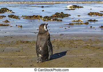 Lonely penguin standing at beach near shore in Rada Tilly, a seaside resort located in Chubut, Argentina