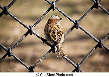 Look back - Sparrow sitting on an iron fencing