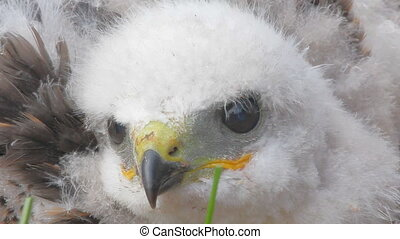 Look into the eyes of predator. Portrait of Rough-legged Buzzard chick closeup