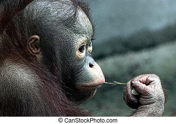 Look of little orangutan (Pongo pygmaeus)
