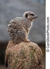 Meerkat on look out Duty