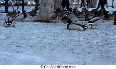 Look through the eyes of a duck Mallard as an element of the urban environment