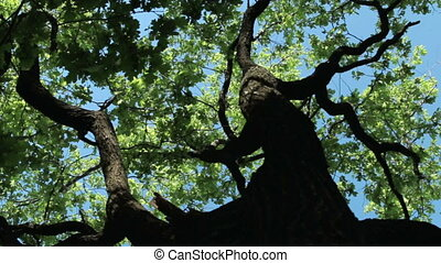 Look up at the crown of an oak tree on a sunny and windy day.