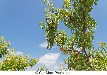 Look up view peach trees with heavy load of ripe fruits in cloud blue sky