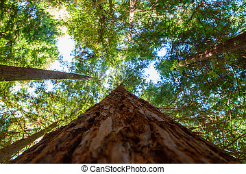 Looking along the sequoia trunk