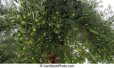 Looking at big green olive tree in the garden - In the...