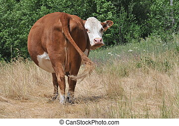 Looking back - A cow is looking at camera past its tail