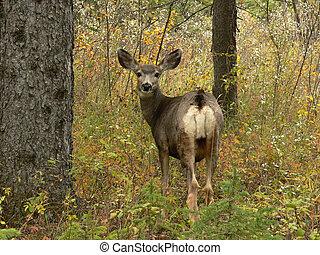 Looking Back - Mule Deer during Autumn at Fish Creek Park,...