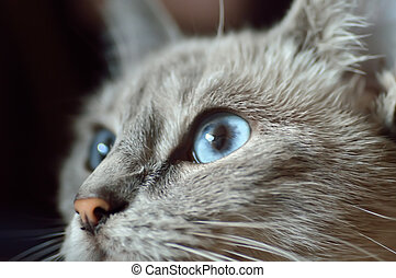 Looking cat with blue eyes