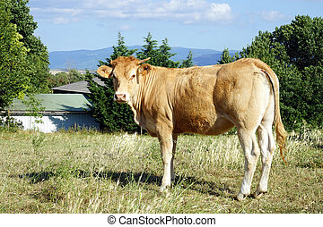 Looking cow