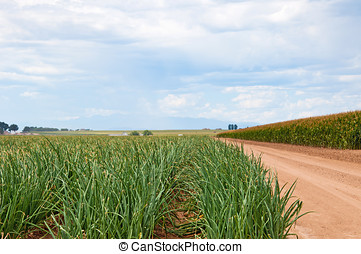 Looking down a row of onions next to a cornfield