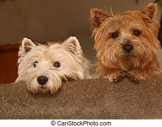 Our Westie and Cairn are looking down the stairs.