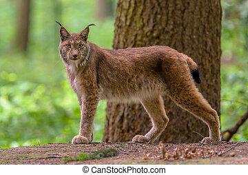 Looking Eurasian Lynx - Eurasian lynx (Lynx lynx) is a ...