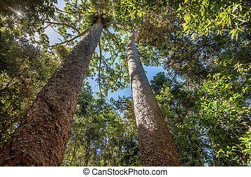 Looking high up at the tall trees in Australia
