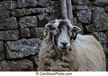 Looking Into the Face of a Swaledale Sheep