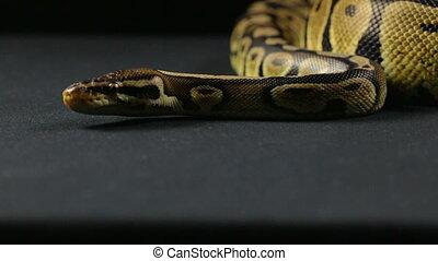 Looking royal python - Footage of royal ball python on black...